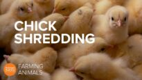 Why the egg industry shreds newborn baby chicks