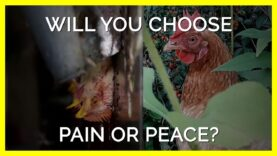Will You Choose Pain or Peace for Chickens Like Them? #shorts